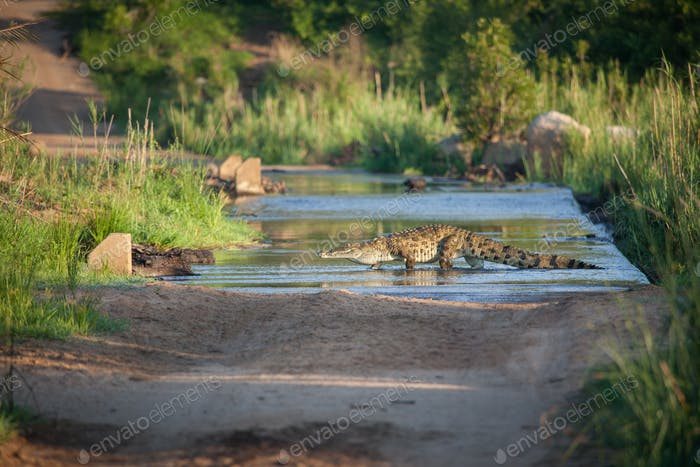 A nile crocodile, Crocodylus niloticus, as it walks across a river on a causeway