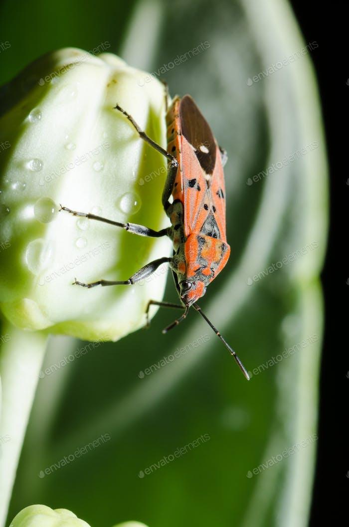 Spilostethus pandurus bug