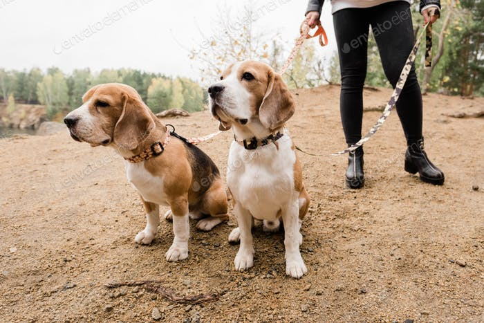 Two purebred beagles sitting on sand while chilling with their owner by lake