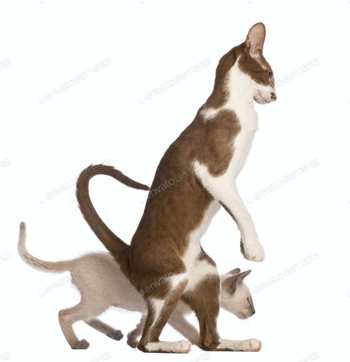 Adult Oriental Shorthair standing on hinds leg with kitten walking behind him