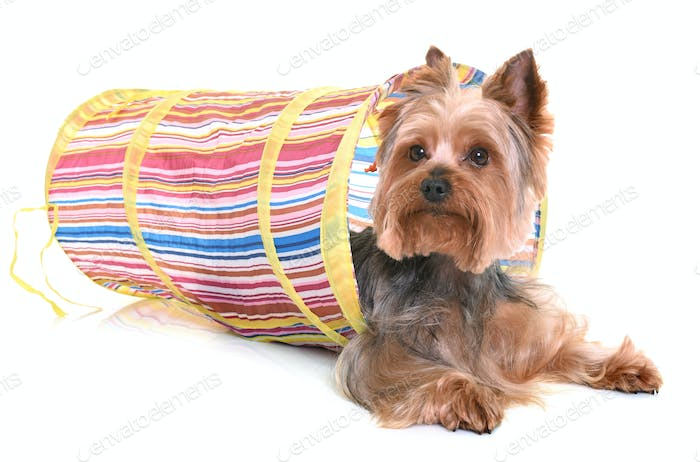 yorkshire terrier in agility