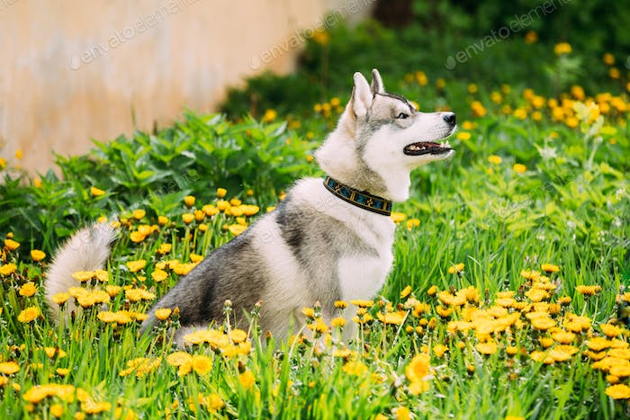 Young Happy Husky Puppy Eskimo Dog Sitting In Grass And Dandelio