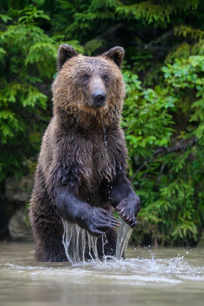 Lustiger wilder Erwachsener Braunbär (Ursus Arctos) stehend auf seinen Hinterbeinen im Wasser