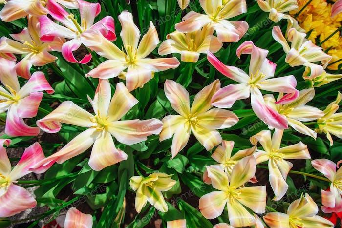 Beautiful bouquet of tulips.