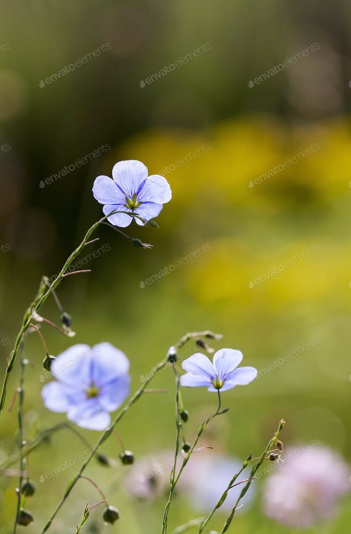 Summertime concept - blue flax flowers
