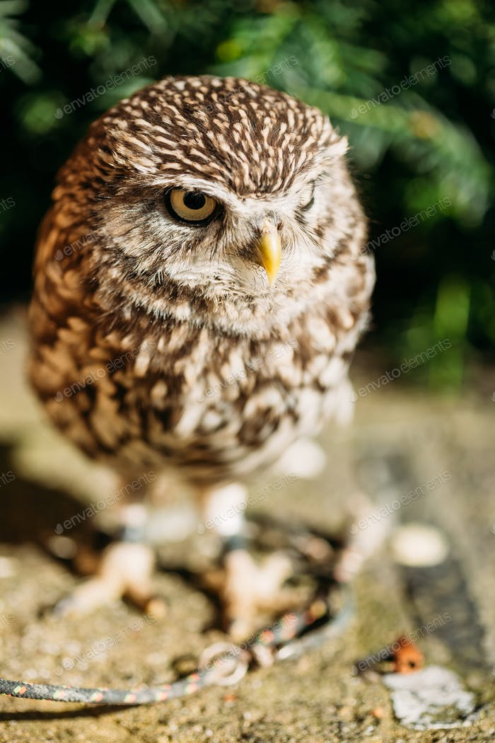 The small owl. Wild bird