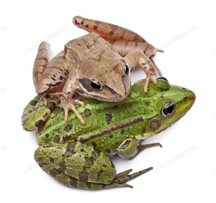 Common European frog or Edible Frog, Rana esculenta, and a Moor Frog, Rana arvalis