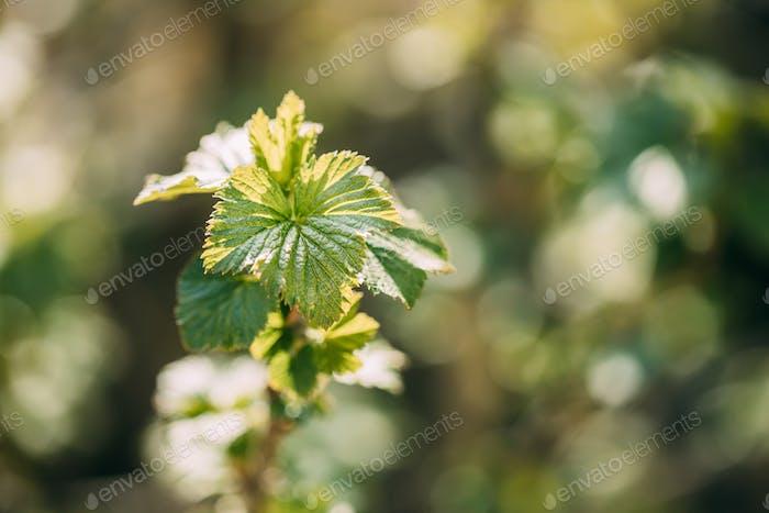 Ribes Nigrum oder Schwarze Johannisbeere. Junger Frühling Grüne Blätter Wachsend In Bush Pflanze. Jung Lush On