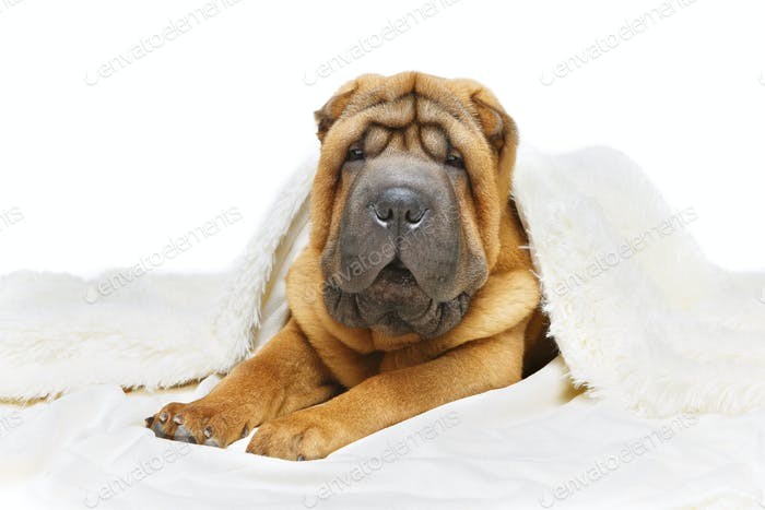 shar pei puppy under plaid
