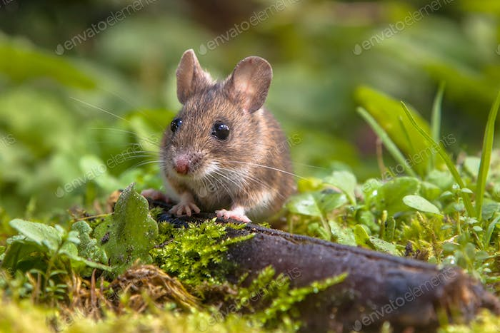 Cute Wood mouse peeking