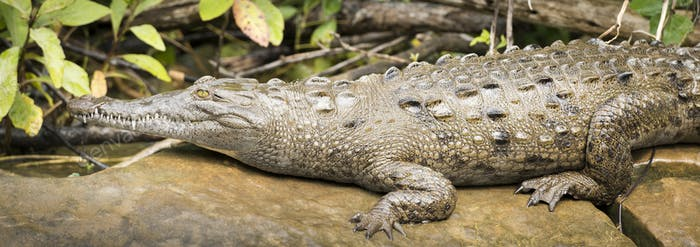 Crocodile On Riverbank