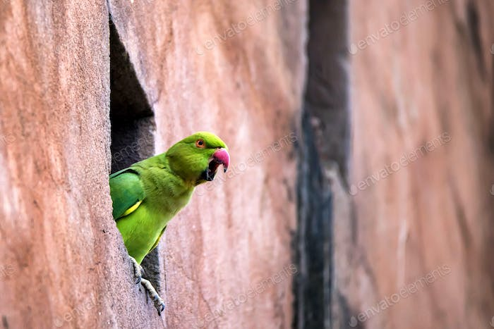 Rose-Ringed Parakeet or Psittacula Krameri