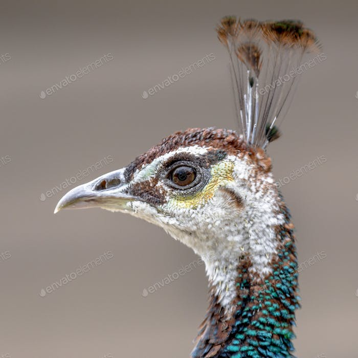 Female Peacock head shot