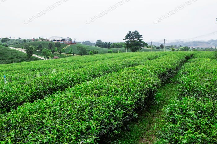 Tea plantation in rainy season