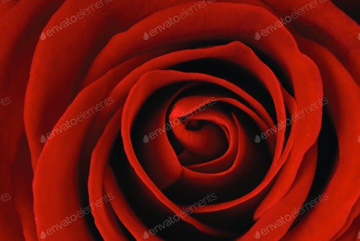 Einzel rote Rose