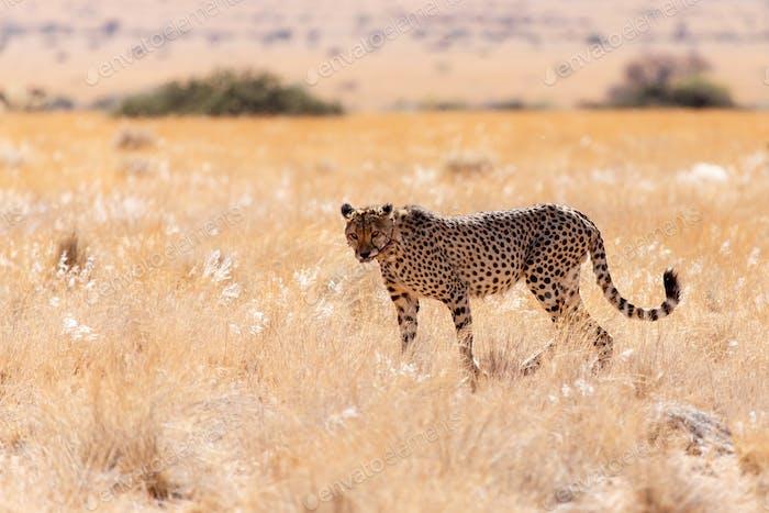 Cheetah Eats in Sossusvlei, Namibia