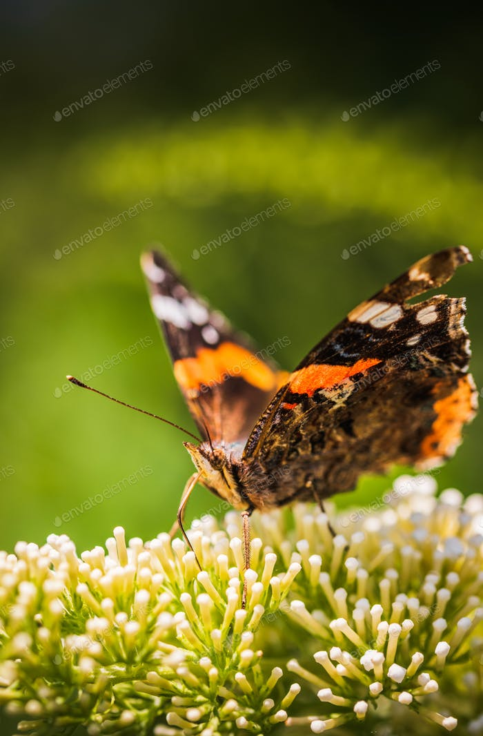 Closeup of Vanessa atalanta, the red admiral or, the red admirable butterfly on flower