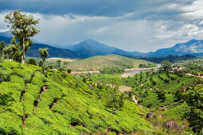 Tea plantations in mountains