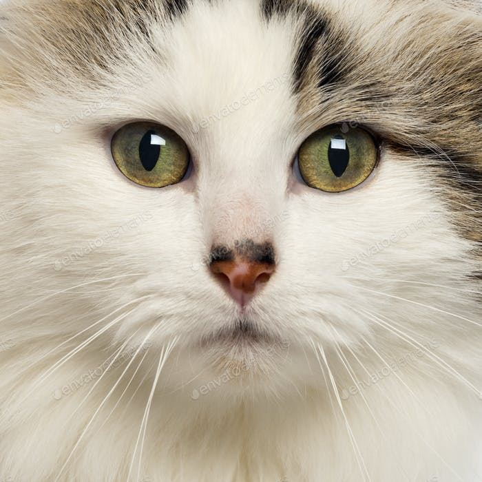 Close-up of an American Curl