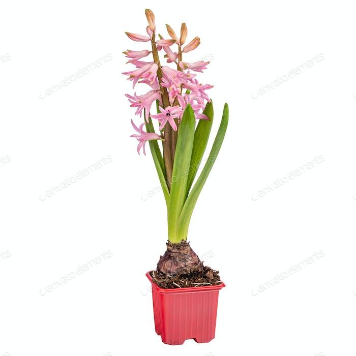 Blooming pink hyacinth