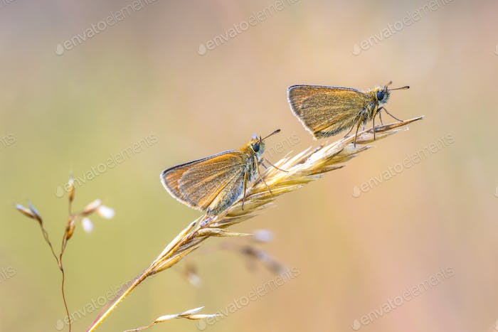 Couple of Essex skipper perched on grass
