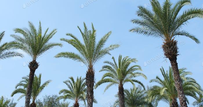 Palm trees against a blue sky