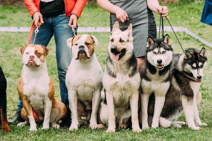 Two American Bulldog Dog, Alsatian Wolf Dog Or German Shepherd D