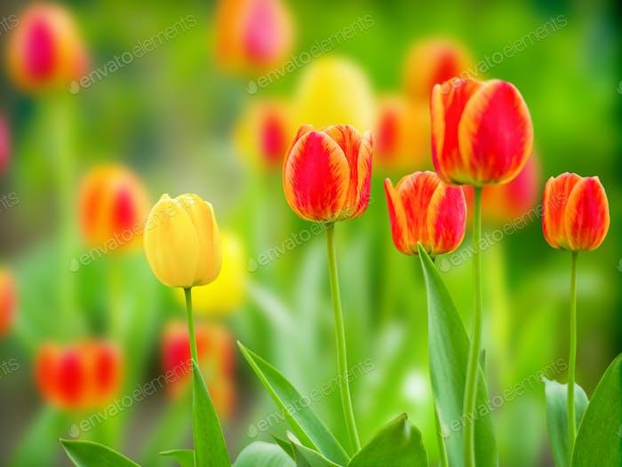 Fondo verde natural con tulipanes florecientes luz natural