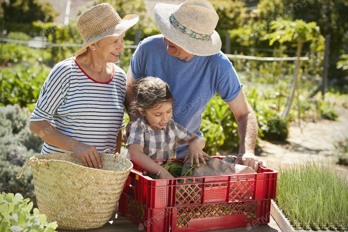 Grandparents With Granddaughter Working On Allotment Together