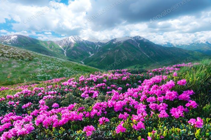 Erstaunliche rosa Rhododendron Blumen