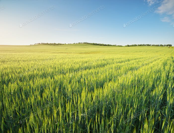 Weizenwiese bei Sonnenuntergang