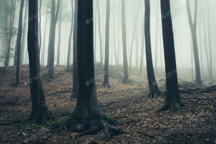 Fog through trees in Transylvanian forest
