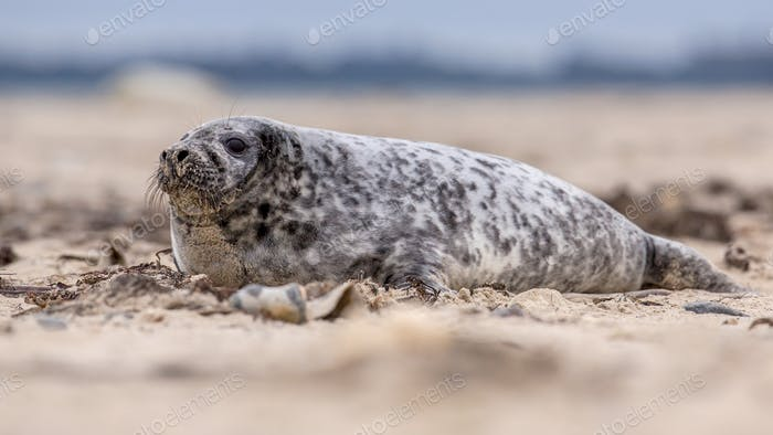 Common seal sideview