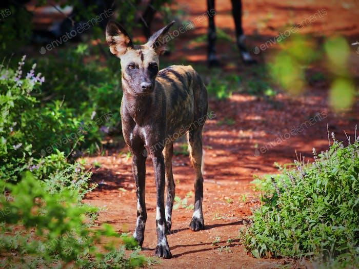 Lycaon, der afrikanische Wildhund. Tsavo West, Kenia, Afrika.