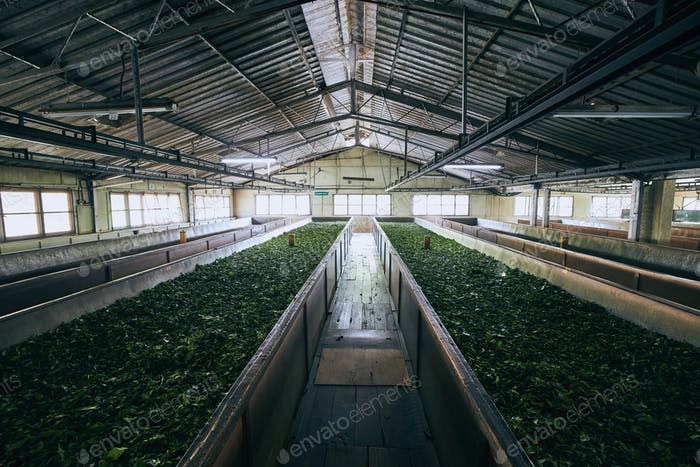 Production in tea factory