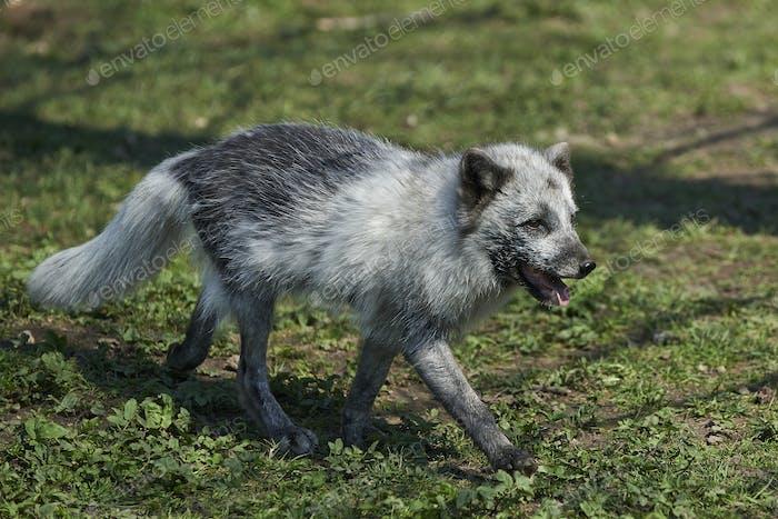 Arctic fox (Vulpes lagopus)