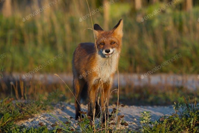 Niedliches junges Fuchsjunges auf dem Gras Hintergrund. Eins. Abendlicht Wilde Natur. Tiere.