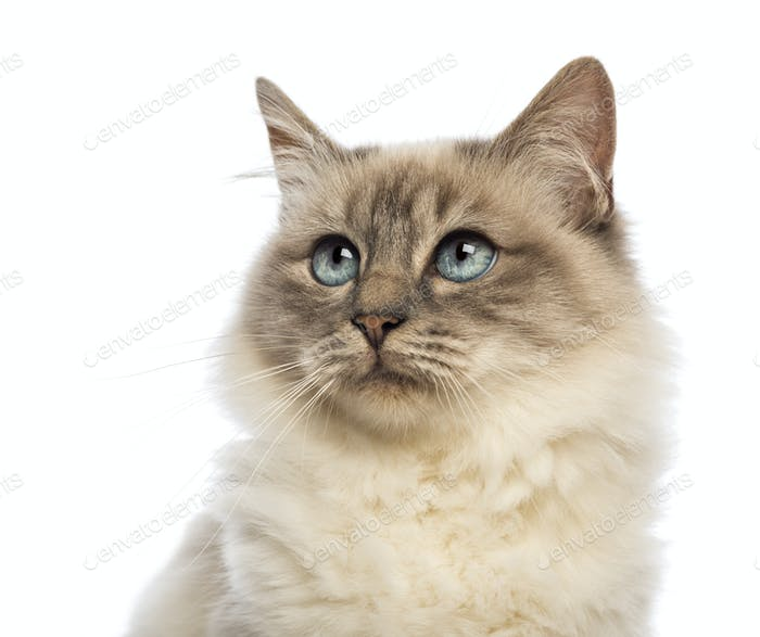 Close-up of a Birman looking up  against white background