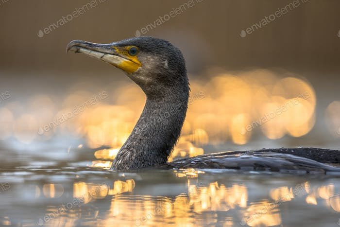 Great Cormorant in sunset reflection