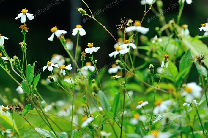 Beautiful little white bidens pilosa flowers blooming in spring