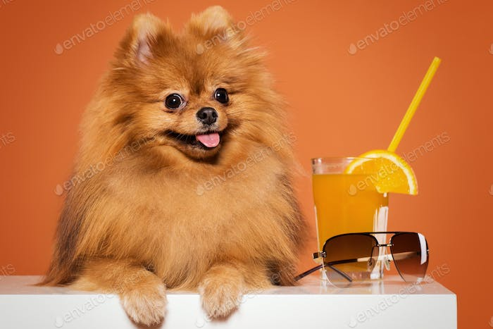 Cute spitz with juice