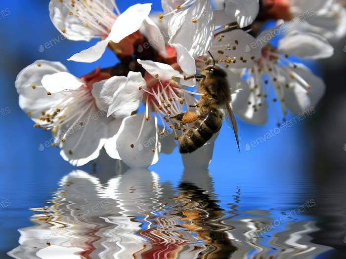 Bee on a branch with white flowers and its reflection in the wat