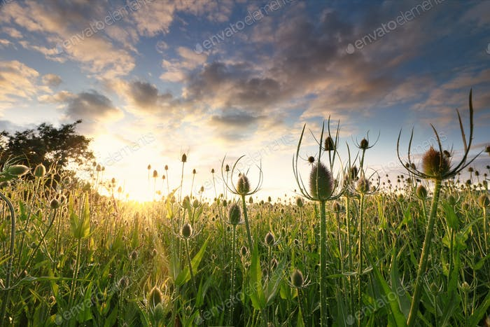 field with many teasel flowers at sunrise