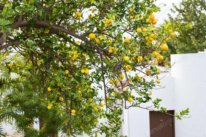 Reife Zitronen hängen an einem Baum in Griechenland mit Sonnenstrahlen, die durch die Blätter scheinen