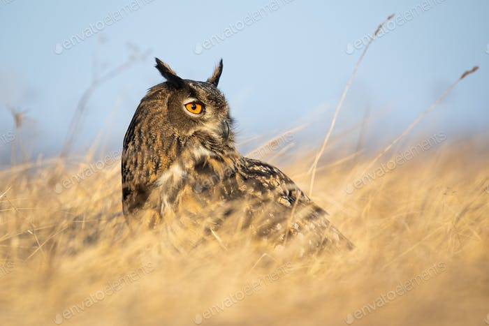 Eurasian eagle-owl sitting on the ground in dry grass with blue sky in background