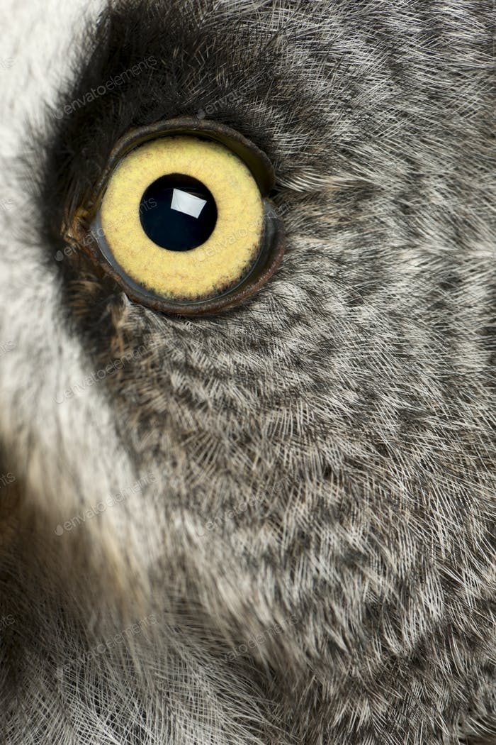 Portrait of Great Grey Owl or Lapland Owl, Strix nebulosa, a very large owl, eye