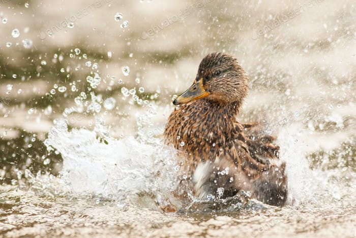 Female mallard splashing water with wings in springtime nature