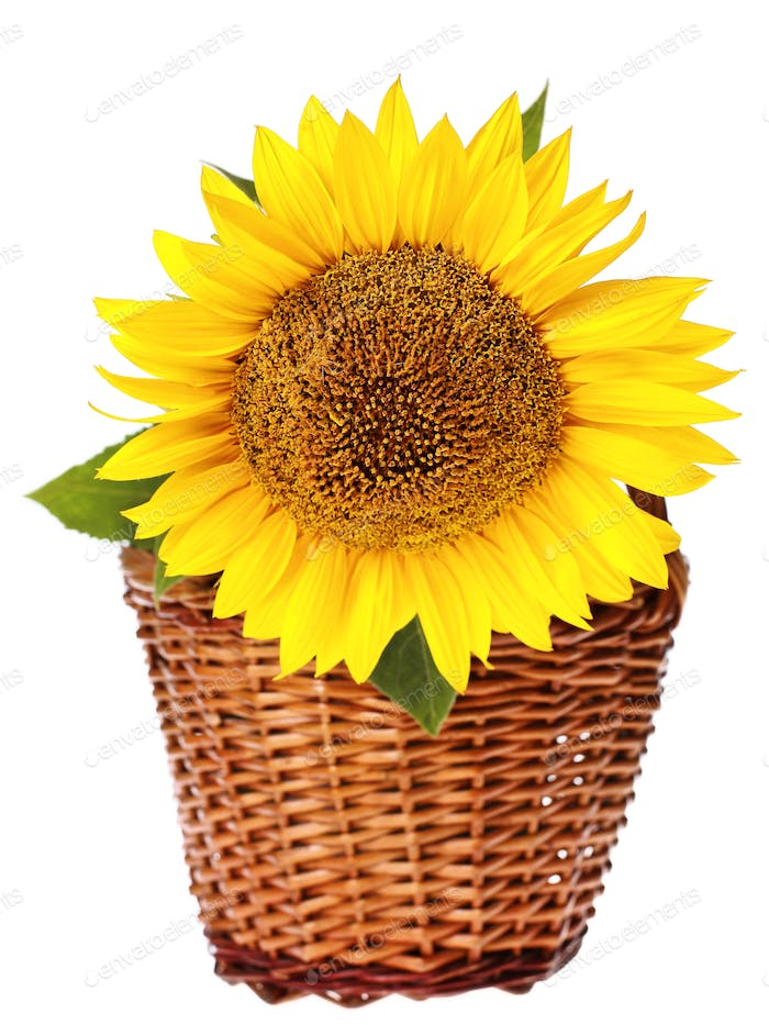 Sunflower in basket