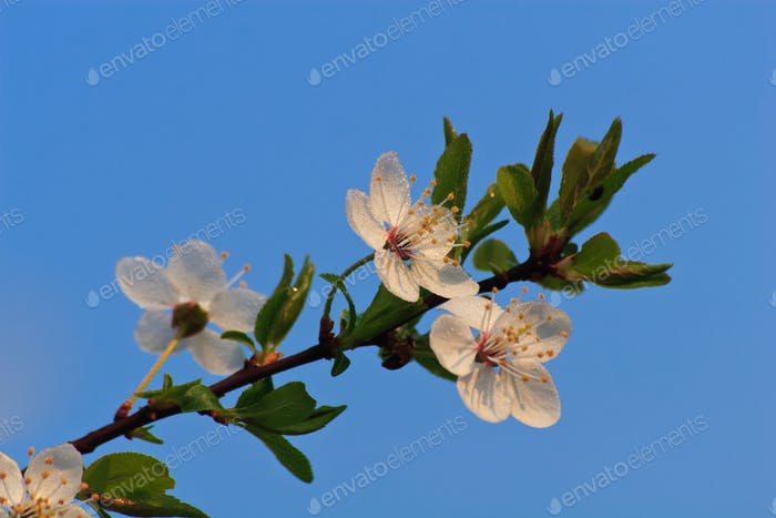 branch of cherry blossoms