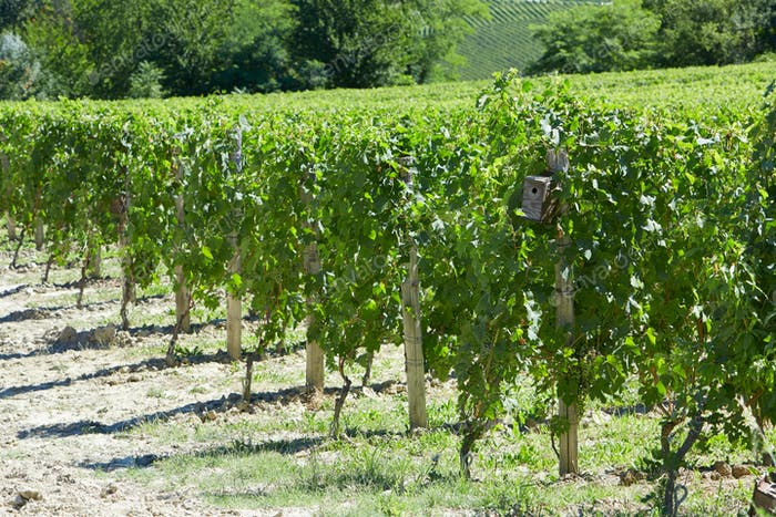 Green vineyards with small wooden bird nest in a sunny day